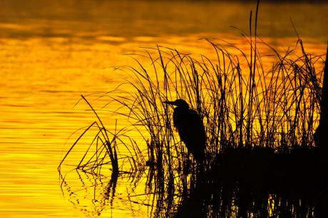 Heron Silhoute. (c) Trey Flynt